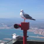 ジブラルタル海峡のかもめ