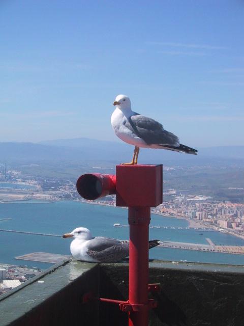 ジブラルタルに佇むカモメ,