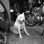 ベトナムの犬